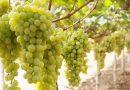 Quotazioni in aumento per l'uva da tavola