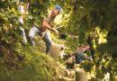"""Conegliano Valdobbiadene: la prima """"vendemmia Unesco"""" promette qualità"""