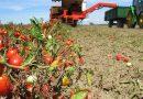 Italia primo produttore Ue di pomodoro