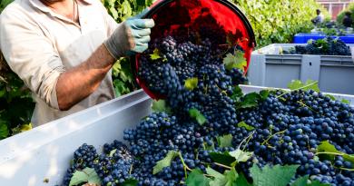 Vendemmia 2019: meno uve, prezzi stabili