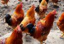 Prezzi polli e conigli