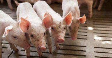 Il benessere animale negli allevamenti suinicoli