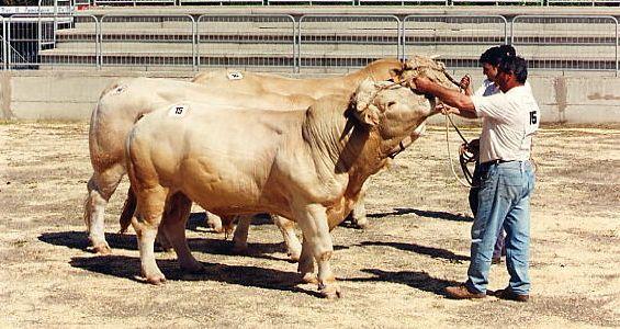 Due razze bovine da carne con un grande potenziale