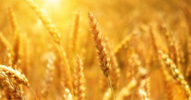 Vola il prezzo del grano