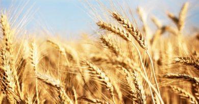 E' allarme finanziario nella la filiera del grano duro