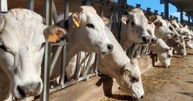 BovINE, il primo progetto di rete finanziato dall'Ue per l'allevamento bovino da carne
