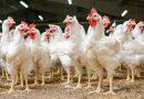 Crescono produzione ed export di carni bianche 2020 incerto per crisi covid