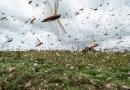 Cavallette devastano la Sardegna, è catastrofe biologica