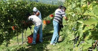 25mila italiani al lavoro con i buoni vendemmia