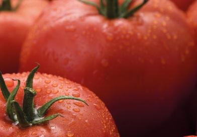 Syngenta introduce la sua prima varietà commerciale di pomodoro resistente a ToBRFV
