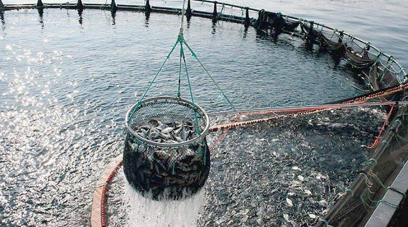 Perdite del 40% per gli allevamenti di pesce