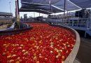 Sequestrate 821 tonnellate di pomodoro semilavorato contaminato da pesticidi