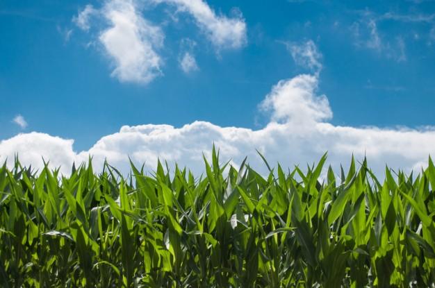 Mais Climate Change: al via progetto di ricerca per una maggiore tolleranza della coltura