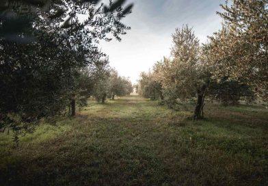 Intact per l'olivicoltura: stop alla cimice asiatica, qualità delle olive e dell'olio a residuo zero
